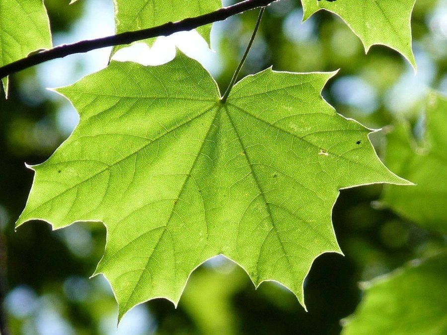 maple-leaf-888807_1280-900x675